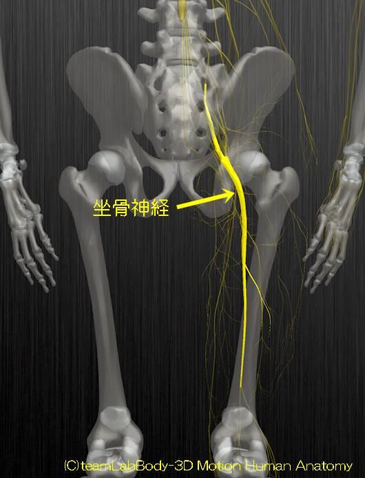 坐骨神経解剖図イラスト1