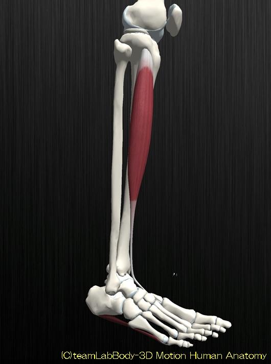 前脛骨筋の解剖イラスト図2