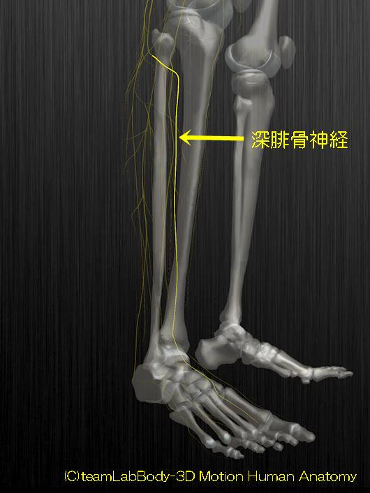 深腓骨神経解剖図イラスト1