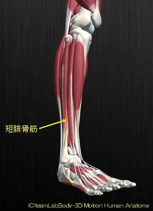 短腓骨筋解剖図イラスト1