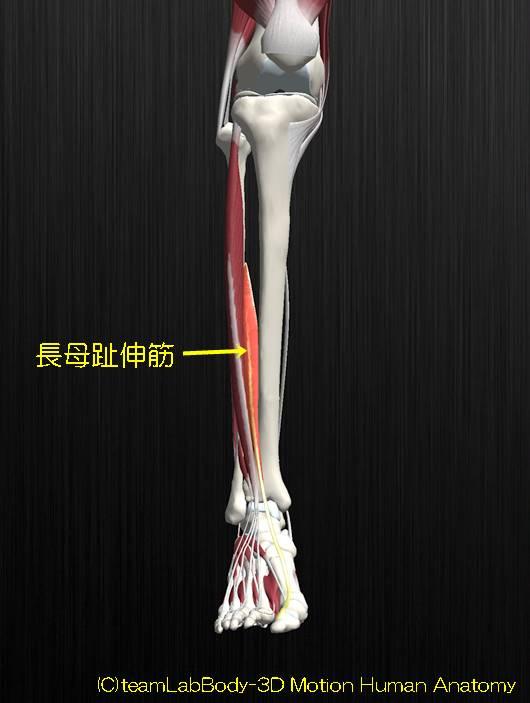長母趾伸筋解剖図イラスト2