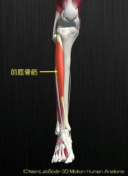 前脛骨筋の解剖イラスト図4