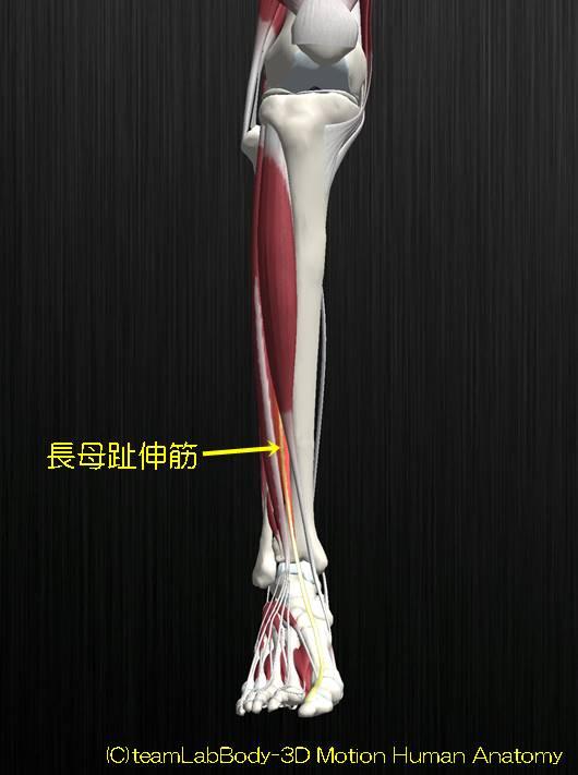 長母趾伸筋解剖図イラスト1