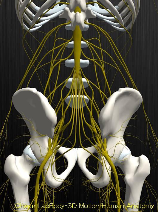 下肢神経解剖図イラスト図3