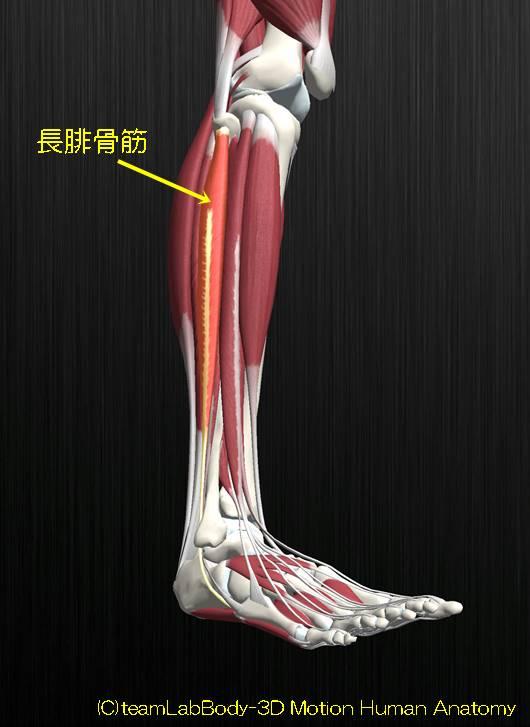 長腓骨筋解剖図イラスト1