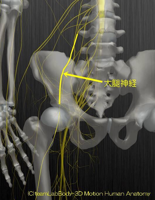 大腿神経解剖図イラスト1