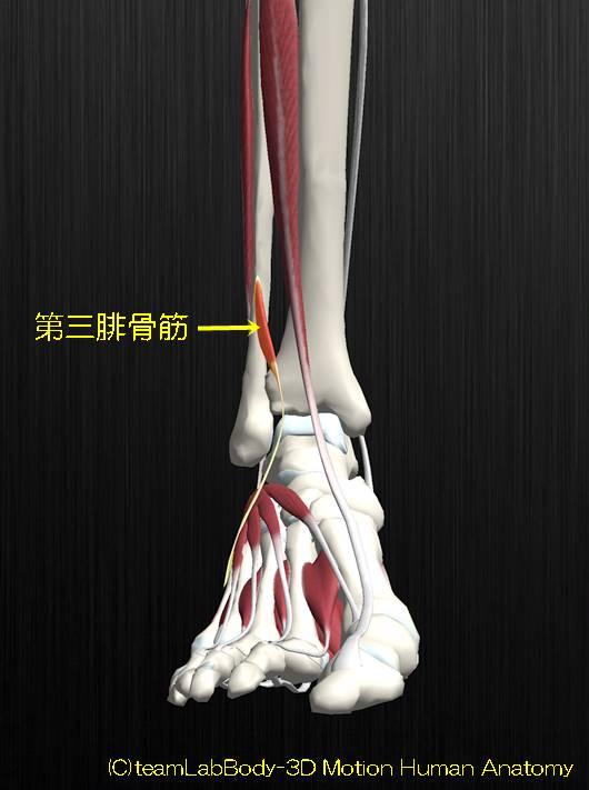 第三腓骨筋解剖図イラスト1