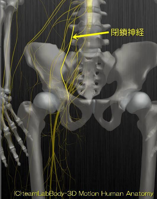 閉鎖神経解剖図イラスト1