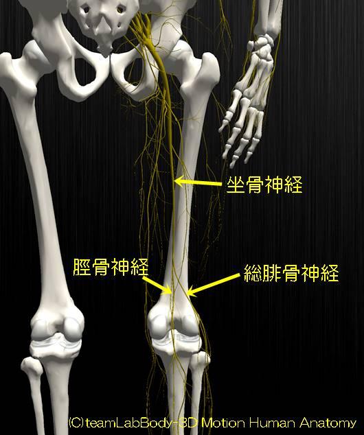 坐骨神経腓骨神経脛骨神経1