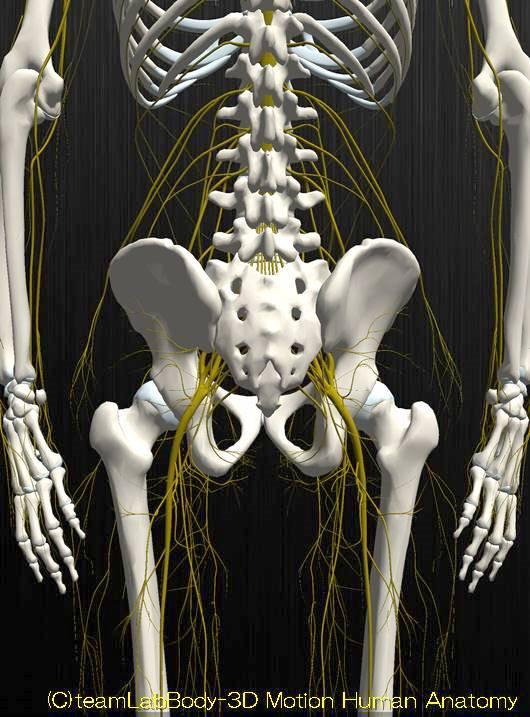 下肢神経解剖図イラスト図2