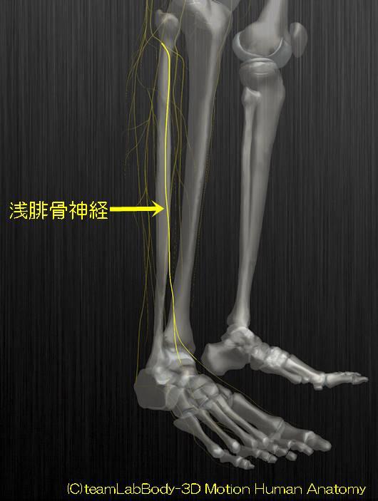 浅腓骨神経解剖図イラスト1
