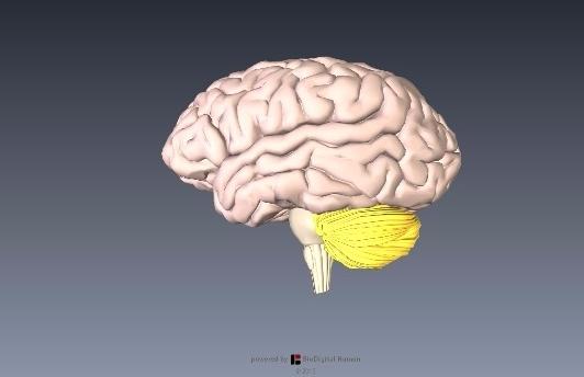 小脳解剖図イラスト2