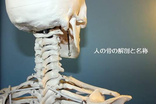 人体の骨の名称と数を解剖のイラストを用いて詳しく解説
