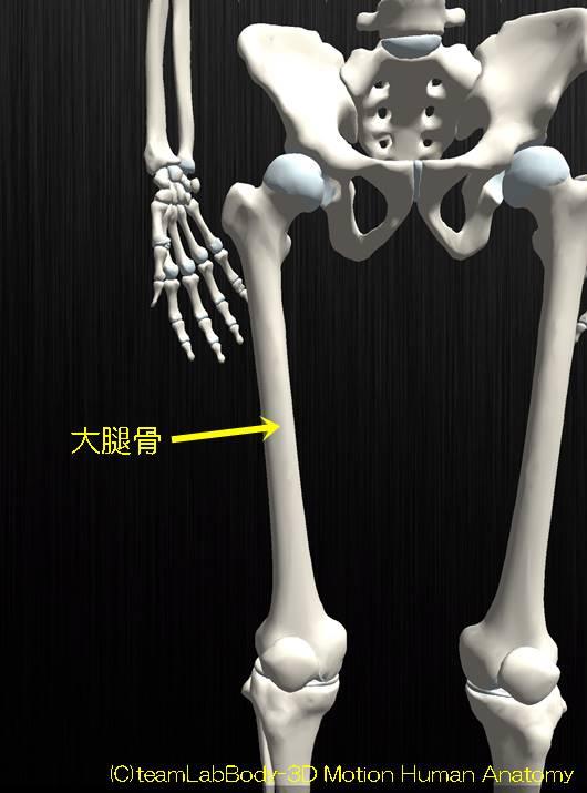 大腿骨解剖の図イラスト1