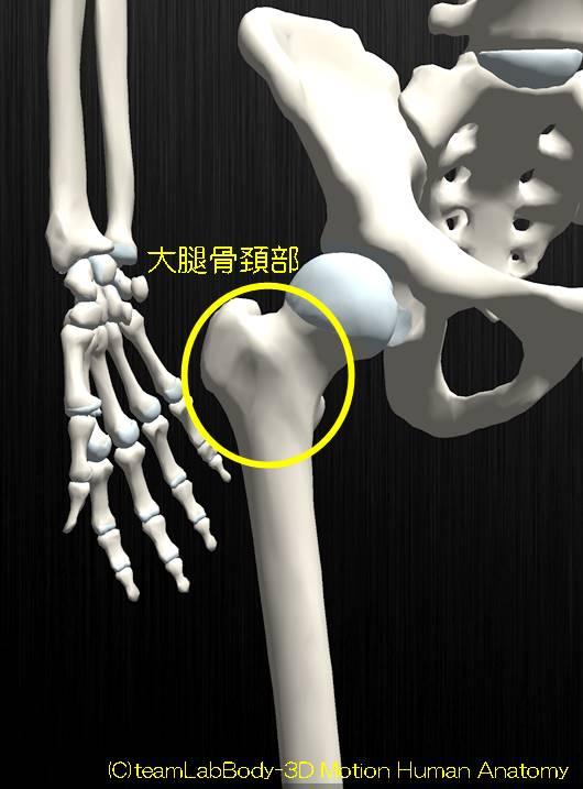 大腿骨頚部解剖図イラスト1