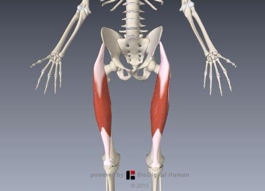 大腿直筋解剖イラスト3