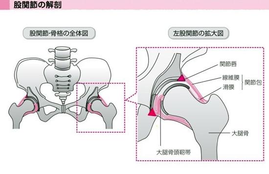 股関節の解剖イラスト1