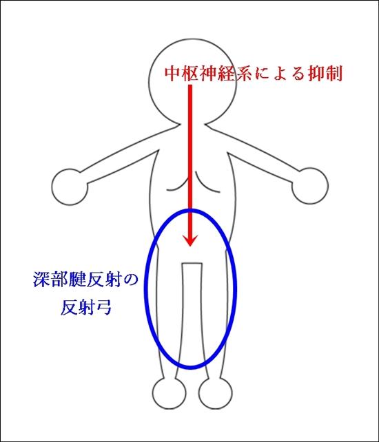 深部腱反射メカニズム1
