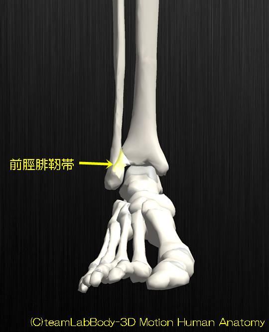 靭帯結合前脛腓靭帯1