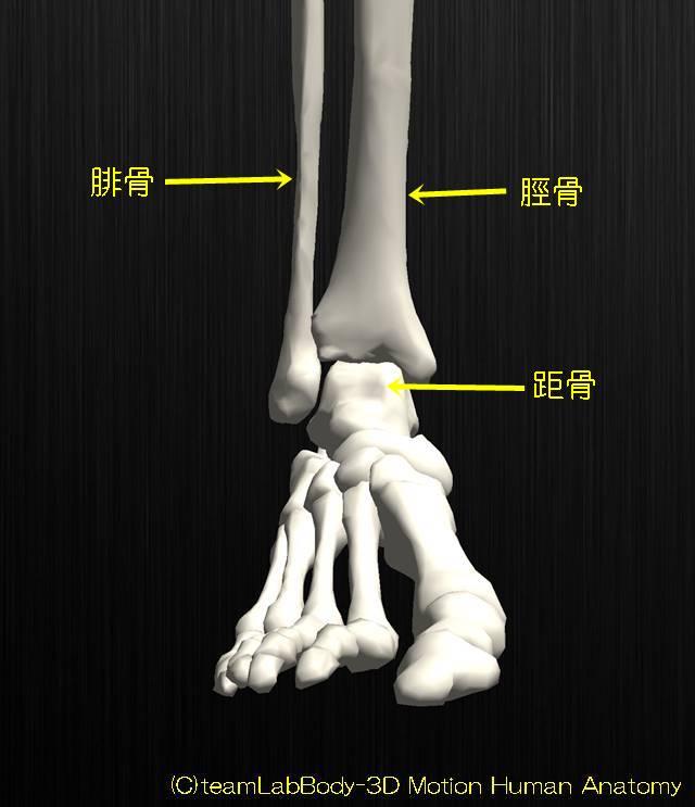 足関節の解剖イラスト図5
