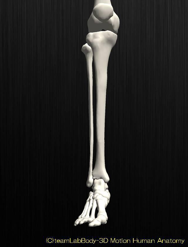 足関節の解剖イラスト図1