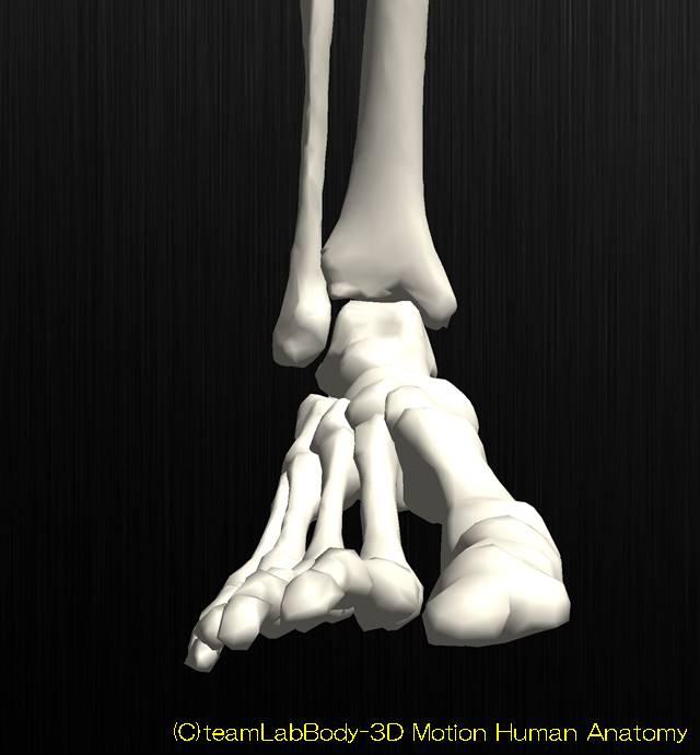 足関節の解剖運動学イラスト図背屈位1