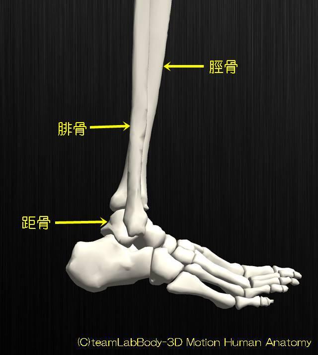 足関節の解剖イラスト図7