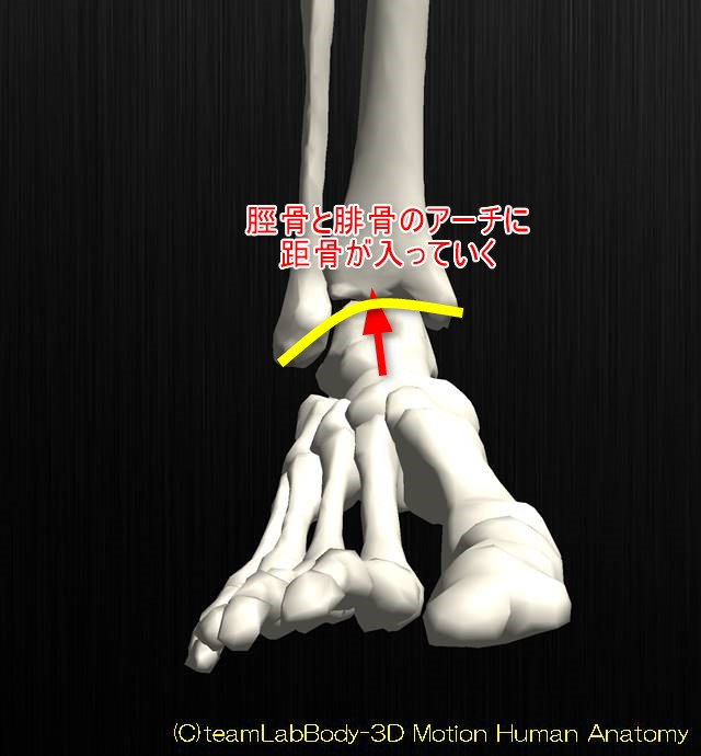 足関節の解剖運動学イラスト図背屈位2