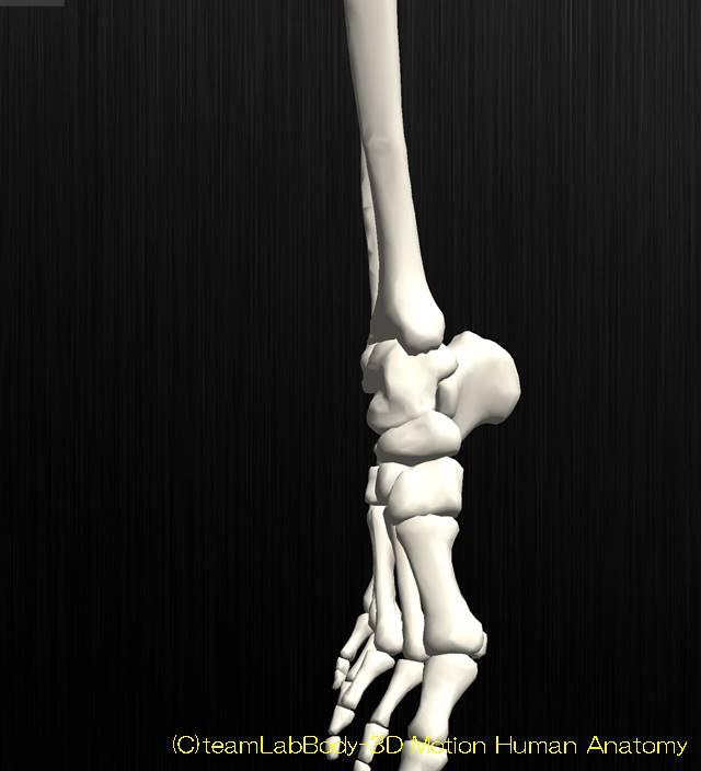 足関節の解剖運動学イラスト図底屈位2