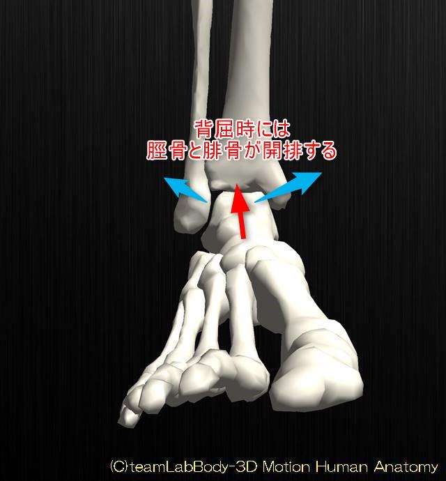 足関節の解剖運動学イラスト図背屈位3
