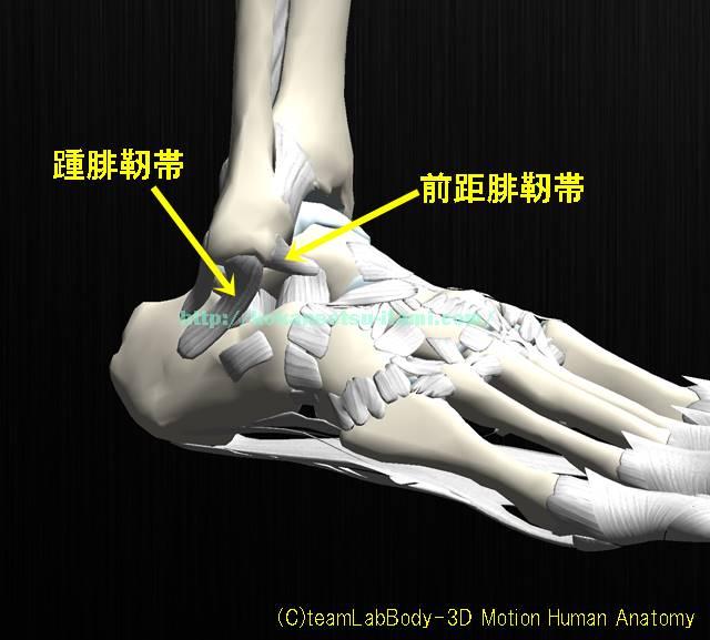 足関節足首靭帯全体像