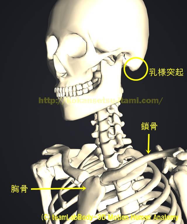 胸骨鎖骨乳様突起解剖イラスト図1