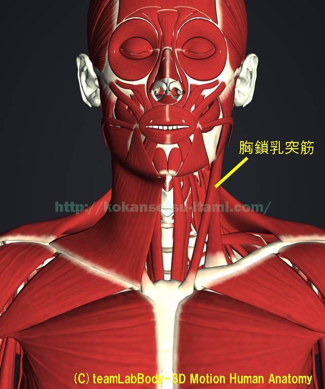 広頚筋と胸鎖乳突筋1