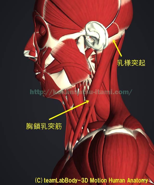 胸鎖乳突筋解剖イラスト図1