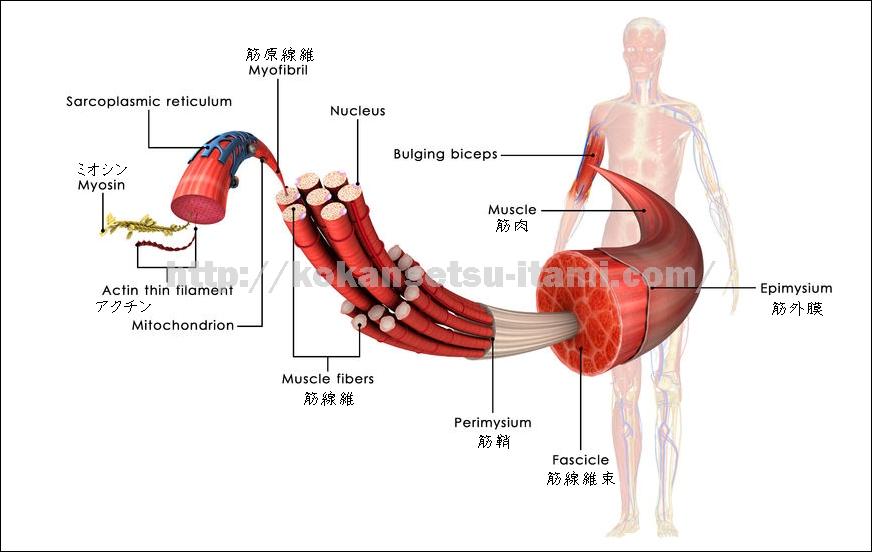 筋筋線維束筋原線維1
